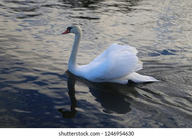 Bright macro photo of a beautiful white swan in a blue pond
