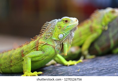 Bright macro photo of a green big iguana in a summer park