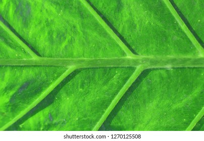 Bright macro photo of a green large leaf illuminated by the sun