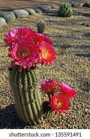Bright magenta blooms on a Bonker Hedgehog cactus