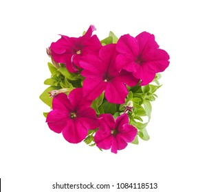 Bright magenta petunia in blooms closeup isolated on white background