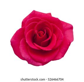 bright magenta rose flower isolated on white background