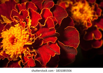 Bright marigold flowers close up on a black background
