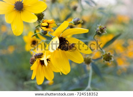 bright maryland state flower close bees stock photo edit now