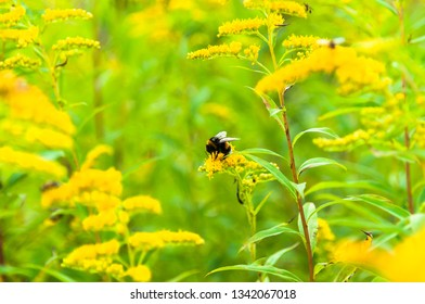 A bright meadow of goldenrod with bumble bee pollinating the flower
