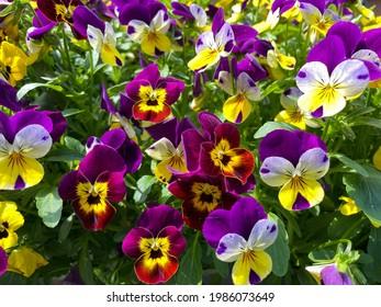 Helle, gemischte viola cornuta Blumen, Nahaufnahme, gelbe und violette Psy-Blumen, floraler Hintergrund mit bunter Pansien