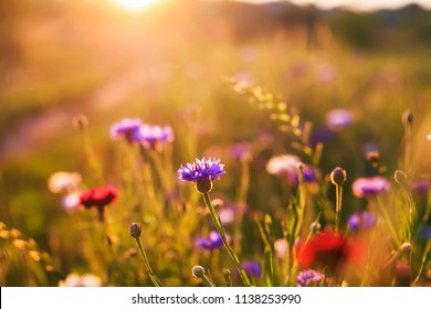 bright natural background with field blue flowers cornflowers grow in the warm sun