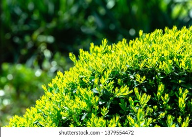 Bright new green foliage of boxwood Buxus sempervirens with dark green garden backdrop. Trimmed boxwood. There is a place for your text. Selective focus