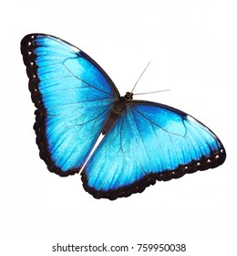 The bright opalescent blue morpho butterfly, Morpho helenor marinita male, isolated on white background with wings open.