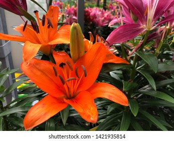 Bright orange Asiatic lily flowers in the garden