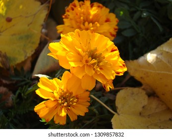 Bright orange autumn flowers-marigolds NP background of beautiful sunlight on the city flowerbed.