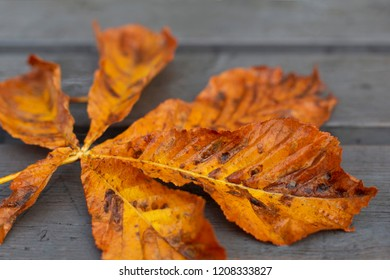 Bright orange autumn horse chestnut leaf on grey surface