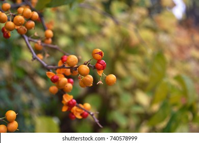 Bright orange berries of the Oriental Bittersweet (Celastrus orbiculatus) vine,  abstract autumn background, selective focus, shallow depth of field.