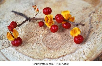 Bright orange berries of the Oriental Bittersweet (Celastrus orbiculatus) vine on wood background, selective focus.