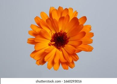 Bright orange calendula flower isolated on gray background.