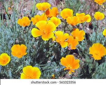 Bright orange California Poppies along mountain trail during spring in San Bernardino Mountains, California.