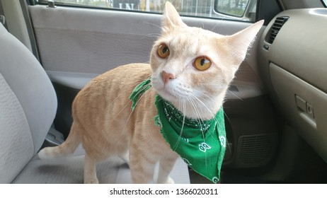 a bright orange cat wearing fabric collar who has orange eyes standing on the seat inside a car.A pet travel with owner.