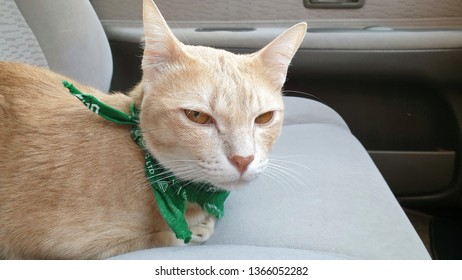 a bright orange cat wearing fabric collar who has orange eyes lying on the seat inside a car.A pet travel with owner looking camera.