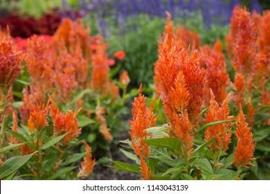 Bright orange celosia flowers in the foreground of a botanical garden, celosia argentea