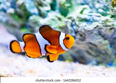 Bright orange clown fish in aquarium