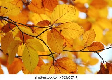 Bright orange copper beach  (Fagus sylvatica Purpurea) leaves on branches foliage. Fall nature background in warm coloures.