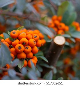Bright orange cotoneaster berries among small green leaves