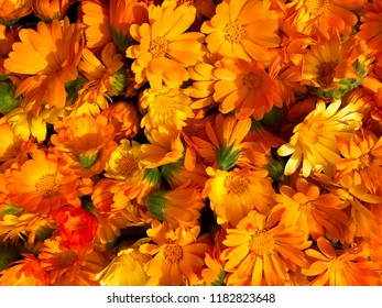 Bright orange flowers of calendula officinalis.