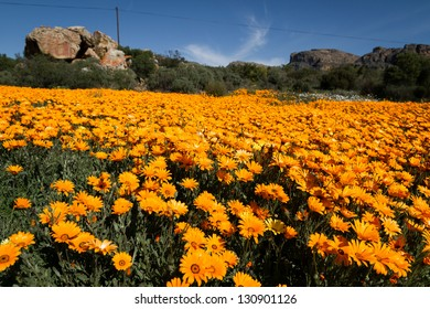 Bright orange flowers field
