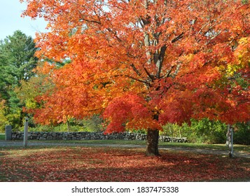 Bright orange foliage on a maple tree in a front yard in Hamilton