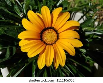 bright orange gazania flower.