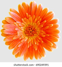 a bright orange Gerbera Germini flower isolated on a light gray background