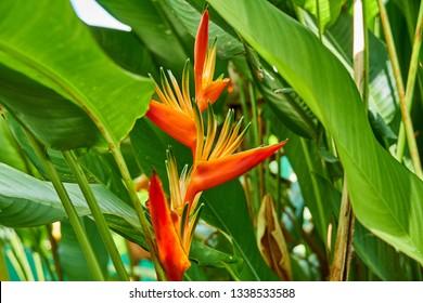 Bright Orange Heliconia Golden Torch (Heliconia psittacorum x Heliconia spathocircinata) in Guyana, South America