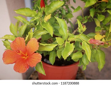 Bright orange hibiscus flower on potted plant