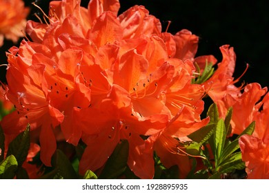 Bright orange inflorescences of rhododendron. Orange Azalea In Spring. Natural spring background. Closeup of flowers background