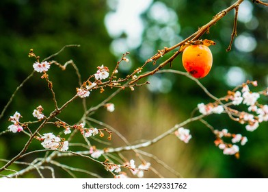 Bright orange Japanese kaki persimmon left to freeze dry on the brunch and delicate flowers of winter sakura.