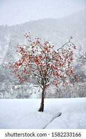 Bright orange kaki (persimmons) growing on a tree in winter at Shirakawa-go, Gifu in Japan