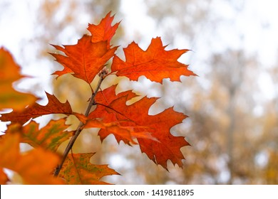 Bright orange leaves of oak in the forest on a light background in the fall