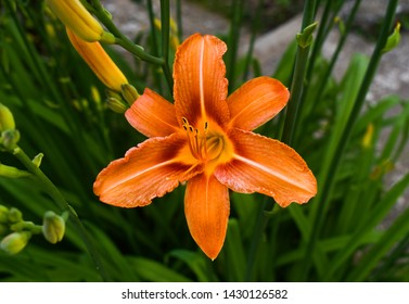 Bright orange lily flowers in the sunny garden. Lilium bulbiferum, common names orange lily, fire and tiger lily, is a herbaceous European lily with underground bulbs, belonging to the Liliacee