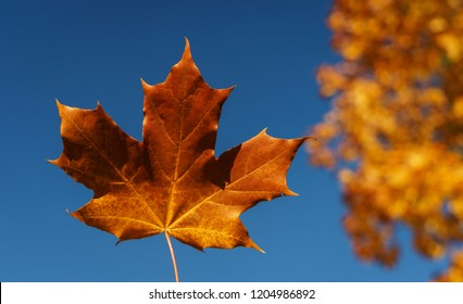 Bright orange maple leaf with a clear blue sky on background. Warm autumn day in the park. Falling autumn leaf from a tree. Soft focus and beautiful bokeh.