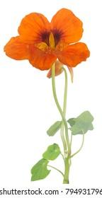 bright orange nasturtium flower isolated on white background
