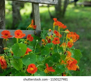 Bright Orange Nasturtiums Climbing Wooden Rail Fence