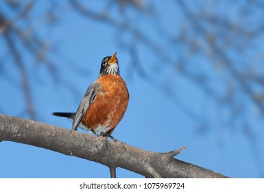 Its bright orange plumage in full display, tail up and beak wide open, a robin sings it cheerful song.  A bright blue sky and out of focus trees make for a serene background for this chirping bird.