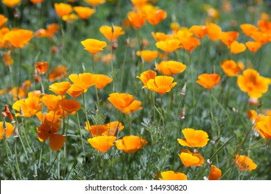 Bright orange poppies in full bloom.