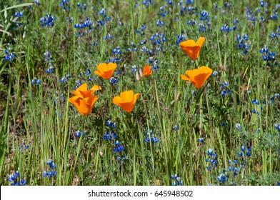 Bright orange poppies grow with blue lupine