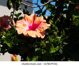 Bright orange suffused with pink single Hawaiian Hibiscus rosa-sinensis evergreen  hibiscus blooming in spring  with large petals contrasted against green foliage adds decorative charm to a garden.