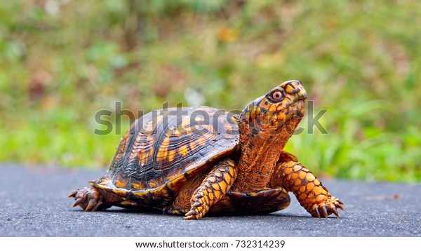 A bright orange Terrapene carolina carolina (common to the Carolinas)  sub species of the Eastern Box Turtle crossing a wet  paved path at  Riverwalk trail, Rock Hill, South Carolina.