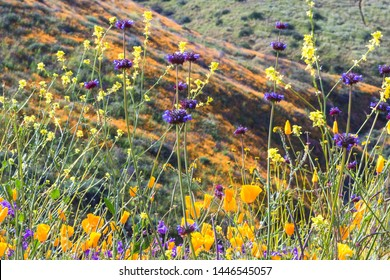 Bright orange vibrant vivid golden California poppies, seasonal spring native plants, close up of purple and yellow wildflowers in bloom