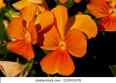 Bright Orange Violas