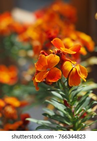 bright orange wall flowers in spring in sunshine, closeup