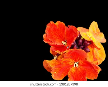 Bright orange wallflower isolated on a plain black background. Botanical name is Erysimum.